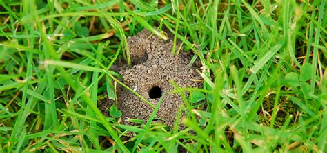 Does Your Lawn Have Mining Bees? - Lawnmaster