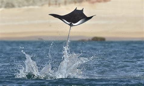 Devil rays get worldwide protection – and genetic tools