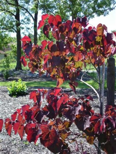 Cercis canadensis Forest pansy - eastern redbud, love tree