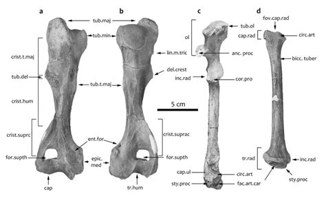 Anatomical features of the humerus, ulna and radius of